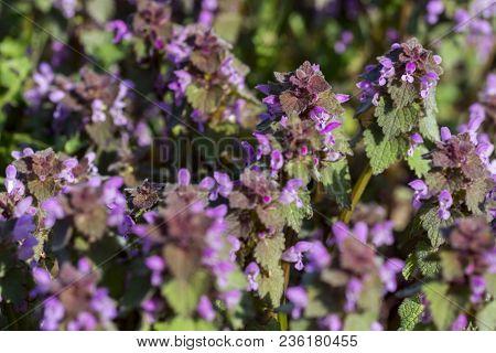 Field With Lamium Purpureum, Known As Red Dead-nettle, Purple Dead-nettle