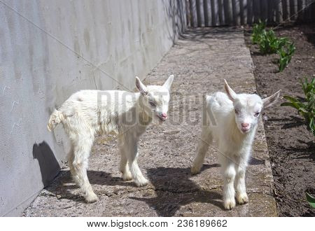 Newborn Goats On The Farmyard. Portrait Of Two Baby Against Earth