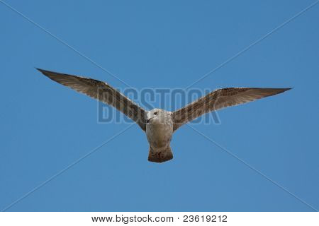 A young seagull soaring in the blue sky poster