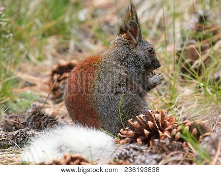 A Kaibab Squirrel Native To The Kaibab Forest Of Arizona Eating. This Squirrel Is Only Found In Nort