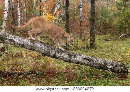 Adult Male Cougar (puma Concolor) Descends Birch Branch - Captive Animal