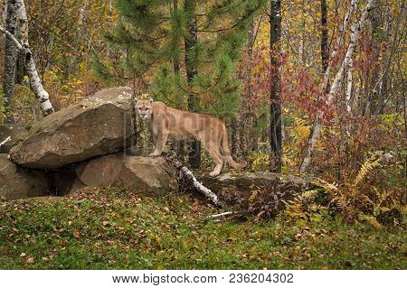 Adult Male Cougar (puma Concolor) Looks Out From Den - Captive Animal