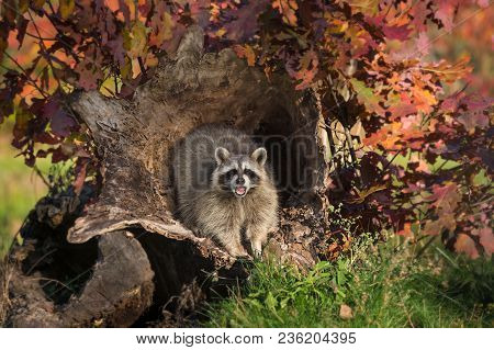 Raccoon (procyon Lotor) Cries Out From Log - Captive Animal