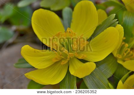 View Of Detail Flower Eranthis, South Bohemia, Czech Republic
