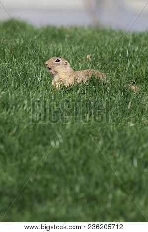 Sickle - A Critically Endangered Species (spermophilus Citellus) Belongs To The Squirrel Family (sci