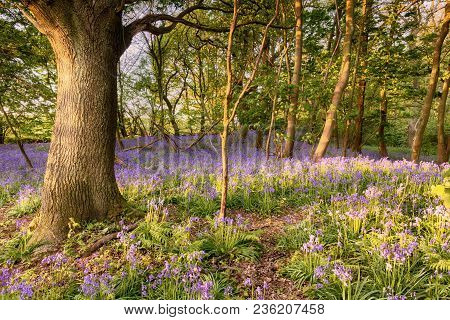 Bluebell Path Deep In A Hidden Woodland In Norfolk Uk. Wild Spring Flowers Blooming At Sunrise In A