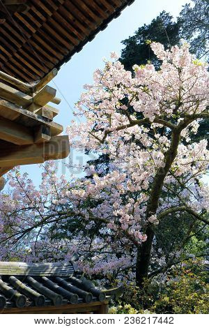 Deciduous Tree With Spring Flower Blossoms Beside A Japanese Style Building Taken In A Zen Meditatio