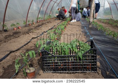 Tomato Seedlings Planting In Greenhouse