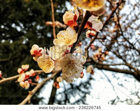 Blossom Branch Close-up. Spring Weather, Sunny Sky, Flowering Trees In The Village. Beautiful Blosso