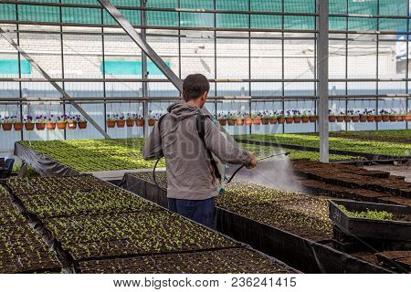 Worker Spaying Young Seedlings In Greenhouse With Water Or Plant Protection Chemicals Against Pests