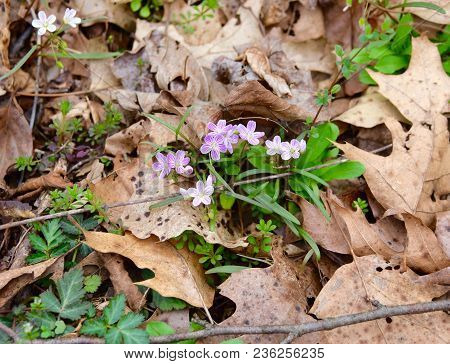 Dainty Pink And White Spring Beauty Flowers Emerging From A Forest Floor.