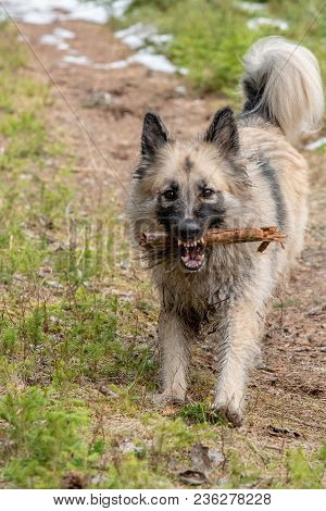 A Big Powerful Dog Shows Her Teeth With A Stick In Her Mouth