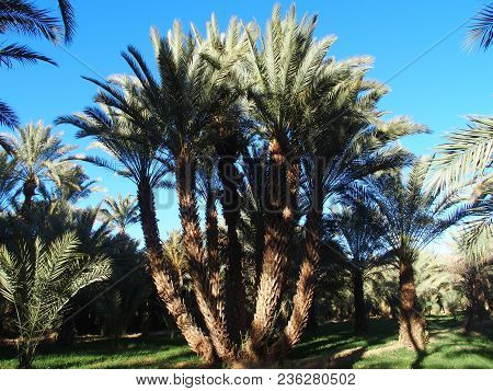 Scenic View Of Green Palm Trees In Oasis In Central Morocco Landscapes In Old Village Oulad Near Zag