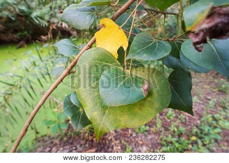 Sacred Tree For Hindus And Buddhist. Bodhi Leaves Or Pho Leaves On Natural Background, Heart Leaf, P