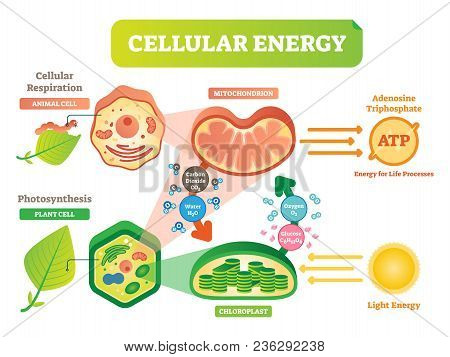 Animal And Plant Cell Energy Cycle Vector Illustration Diagram With Mitochondrion And Chloroplast In