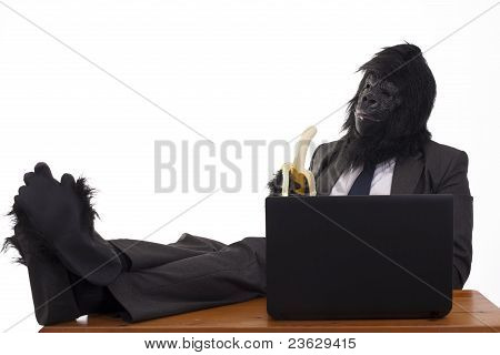Gorilla taking it easy in the office.