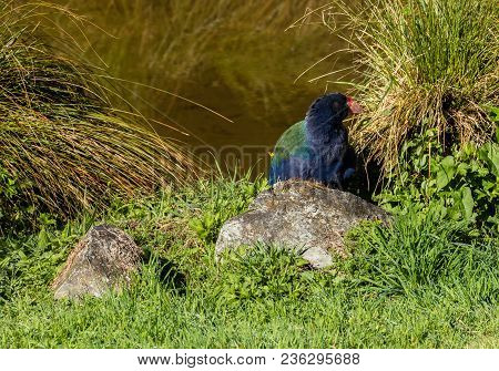 Takahe Hidding Behind Grass Plants Close To Water.