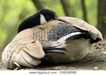 Close-up Of A Sleeping Canada Goose. View To A Beautiful Relaxed Canada Goose (branta Canadensis) At