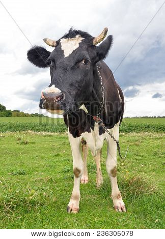 Cow With Big Muzzle On A Spring Pasture. Cow Full Length On A Pasture Close Up. Farm Animals.