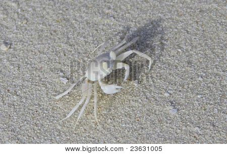 shadow of white crab