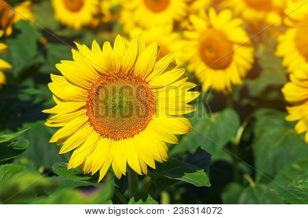 Field Of Blooming Sunflowers As A Background. Sunflower Oil Improves Skin Health And Promote Cell Re