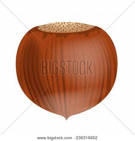Full Unpeeled Realistic Hazelnut Close Up Isolated On White Background. Illustrated Vector.