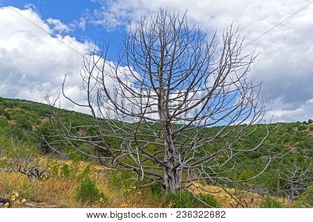 The Dried Relic Juniper (juniperus Excelsa) In The Crimean Mountains.