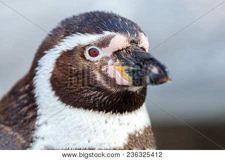Portrait Of A Cute Penguin. Horizontal View