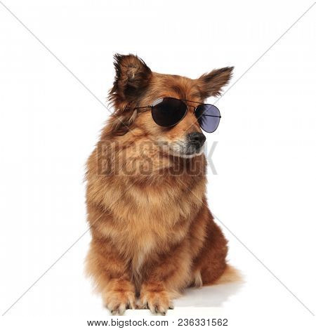 cool trendy seated brown dog with sunglasses looks to side while sitting on white background