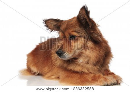 cute lying brown metis dog looks down to side on white background