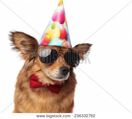 close up of cool classy dog ready for birthday party and looking to side while sitting on white background. It wears sunglasses and a red bowtie, alongside a colorful balloons cap
