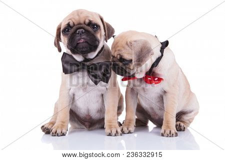 two little sad adorable pug puppies with bowties, one of them looking down to side, while sitting on white background
