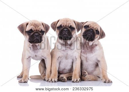 three cute pug puppy brothers, two of them sitting and leaning on each other and the other one standing and looking to side on white background