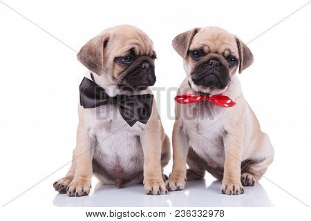 classy seated pug couple wearing adorable bowties, one black and the other red with white dots while sitting on white background