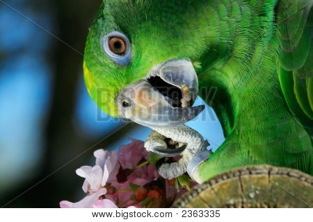 Green Amazon Parrot With A Branch Of Cherry Blossom