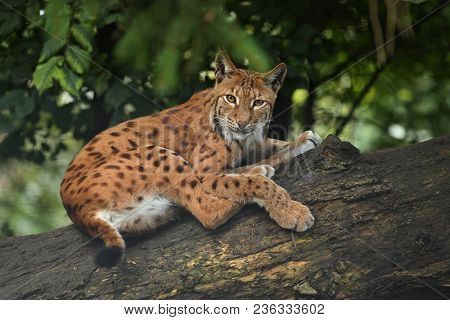 Euroasian Lynx In The Bavarian National Park In Eastern Germany, European Wild Cats, Animals In Euro