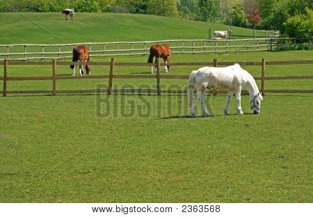Horses And Cattle Grazing