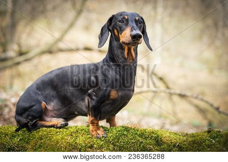 Beautiful Dachshund, Black And Tan, In The Forest In Spring. Dog Standing On The Stump With Moss