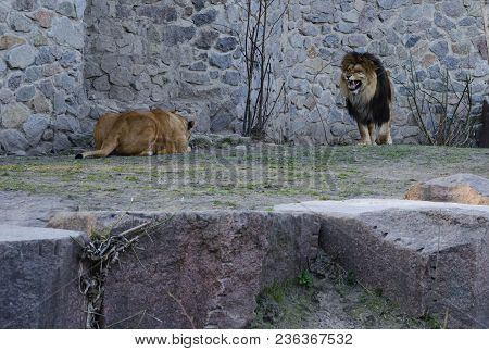Lion With A Beautiful Lush Mane And Lioness For A Walk, A Warm Spring Day