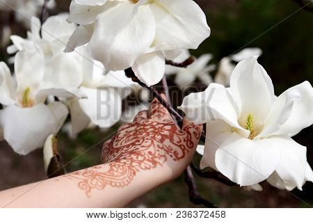 Blossoming Branch Of A White Magnolia, Close Up