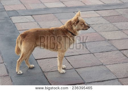 Attentive Brown Mongrel Standing On Pavement, Side View