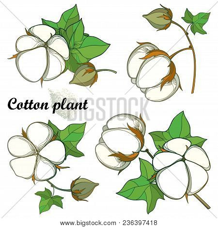 Vector Set With Outline Cotton Boll Bunch With Green Leaf And Capsule Isolated On White Background.