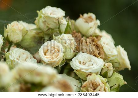 Nature Background With Bouquet Of Light Cream-colored Roses. Tender Bouquet Of Blossoming Flowers. B