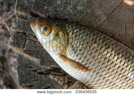 Close Up View Of Single Common Rudd Fish On Natural Vintage Wooden Background..
