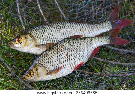 Close Up View Of Two Freshwater Common Rudd Fish On Black Fishing Net..