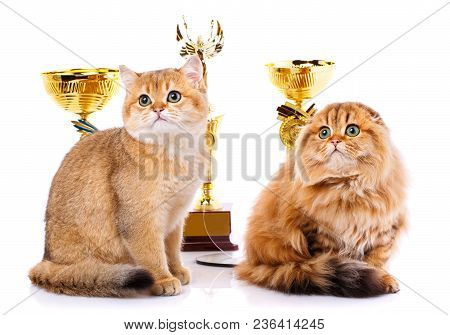 Gold Chinchilla. Portrait Of A Smooth-haired Straight Scottish And Scottish Fold Cat On A White Back