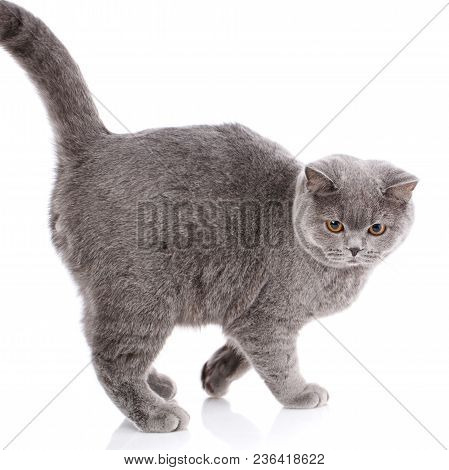 Nice, Cute Big Gray Cat British Straight On A White Background, Not Look At The Camera