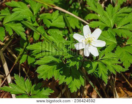 Beautiful White Flower Near Saut Du Doubs Waterfall In The Region Of Doubs Switzerland
