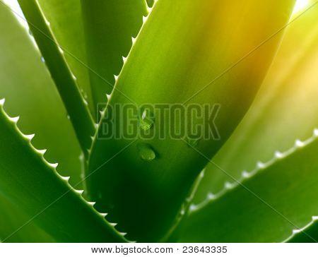 aloe with drops closeup