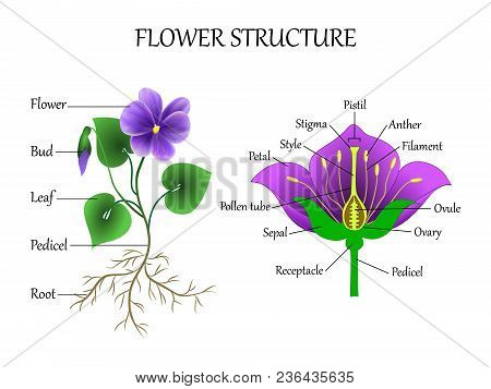 Vector education diagram of botany and biology, the structure of the flower in a section. Training banner scheme for scientific study, illustration. poster